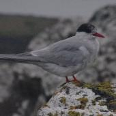 Antarctic tern. Non-breeding adult. Enderby Island,  Auckland Islands, January 2018. Image © Colin Miskelly by Colin Miskelly