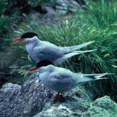 Antarctic tern. Adults in breeding plumage, Boat Harbour. Snares Islands, December 1985. Image © Alan Tennyson by Alan Tennyson