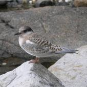 Antarctic tern. Fledgling. Campbell Island, January 2006. Image © Colin Miskelly by Colin Miskelly