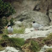 Antarctic tern. Pair near nest site. Snares Islands, December 1973. Image © Department of Conservation (image ref: 10043362) by Rod Morris, Department of Conservation Courtesy of Department of Conservation
