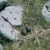 Antarctic tern. Nest with 2 eggs. Rose Island, Auckland Islands, December 1996. Image © Department of Conservation (image ref: 10042330) by Greg Sherley, Department of Conservation Courtesy of Department of Conservation