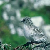 Antarctic tern. Chick. Monument Island, Victoria Passage, Auckland Islands. Image © Department of Conservation (image ref: 10041849) by Paul Dingwall Courtesy of Department of Conservation