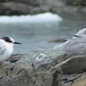 Antarctic tern. Presumed first-year bird, non-breeding Arctic tern on right. Antarctic Peninsula (Wilhelmina Bay), February 2011. Image © Tony Crocker by Tony Crocker