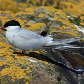 Arctic tern. Adult in breeding plumage. Inner Farne, Northumbria, UK, May 2018. Image © Duncan Watson by Duncan Watson