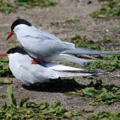 Arctic tern. Pair of adults attempting to mate. Inner Farne, Northumbria, UK, May 2018. Image © Duncan Watson by Duncan Watson