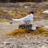 Arctic tern. Adult in breeding plumage on the ground, with ruffled feathers. Ny Alessund, Svalbard, August 2015. Image © Cyril Vathelet by Cyril Vathelet