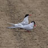 Arctic tern. A pair, on the ground in breeding plumage, one holding a fish in its bill. Ny Alessund, Svalbard, August 2015. Image © Cyril Vathelet by Cyril Vathelet