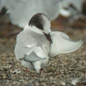 Arctic tern. Non-breeding plumage. Thornton Beach, Bay of Plenty, February 2011. Image © Tim Barnard by Tim Barnard