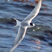 Arctic tern. Immature in flight. Aramoana Mole,  Dunedin, April 2015. Image © Jason Wilder by Jason Wilder
