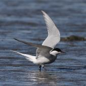 Arctic tern. Adult entering breeding plumage. Note thin border to trailing edge outer hindwing, even-toned primaries above. Manawatu River estuary, March 2010. Image © Phil Battley by Phil Battley