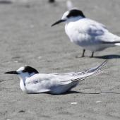 Common tern. Non-breeding bird (sitting) with white-fronted tern in the background. Manawatu River estuary, January 2014. Image © Phil Battley by Phil Battley