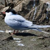 Common tern. Breeding adult (nominate subspecies). Subspecies longipennis is the only form so far recorded from New Zealand; it does not have a red bill. Inner Farne, Northumbria, UK, May 2018. Image © Duncan Watson by Duncan Watson