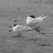 Common tern. Adult in non-breeding plumage, with white-fronted tern. Waikanae, January 2011. Image © Alan Tennyson by Alan Tennyson