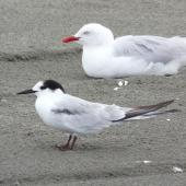 Common tern. Adult in non-breeding plumage, with red-billed gull. Manawatu River estuary, December 2012. Image © Alan Tennyson by Alan Tennyson