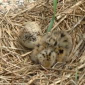 Common tern. Newly hatched chick and egg. Petit Manan Island. Image © Sarah Jamieson by Sarah Jamieson
