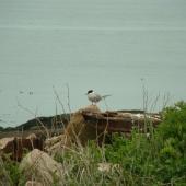 Common tern. Breeding adult. Petit Manan Island, Maine. Image © Sarah Jamieson by Sarah Jamieson