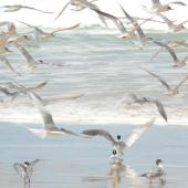 Crested tern. Flock taking off from beach. Fraser Island, Queensland, Australia, August 2008. Image © Alan Tennyson by Alan Tennyson