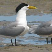 Crested tern. Two adults in full breeding plumage. Inskip Peninsula,  south-east Queensland, October 2007. Image © Dorothy Pashniak by Dorothy Pashniak