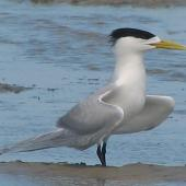 Crested tern. Adult in breeding plumage displaying . Inskip Peninsula,  south-east Queensland, October 2007. Image © Dorothy Pashniak by Dorothy Pashniak