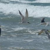 Crested tern. Adults in flight. Diamond Head, NSW, Australia, October 2014. Image © Alan Tennyson by Alan Tennyson