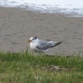 Crested tern. Non-breeding adult. Waipu Cove, September 2014. Image © Robyn Davies by Robyn Davies