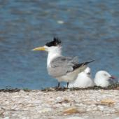 Crested tern. Adult. Waipu estuary Northland, March 2014. Image © Susan Steedman by Susan Steedman