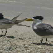 Crested tern. Birds in breeding plumage near colony. Lady Elliot Island, Queensland, November 2012. Image © Tony Crocker by Tony Crocker