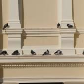 Rock pigeon. Group resting on city building ledge. Wellington, September 2008. Image © Peter Reese by Peter Reese
