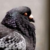 Rock pigeon. Adult resting in sun. Wellington, January 2007. Image © Peter Reese by Peter Reese
