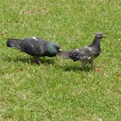 Rock pigeon. Male on left courting female. Auckland, January 2007. Image © Peter Reese by Peter Reese