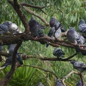 Rock pigeon. Flock roosting in tree. Auckland Domain. Image © Noel Knight by Noel Knight