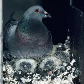 Rock pigeon. Adult at nest with 2 chicks. Christchurch, October 1988. Image © Peter Reese by Peter Reese