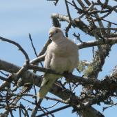 Barbary dove. Front view of perching adult showing fluffed up feathers. North Shore, Auckland, September 2012. Image © Josie Galbraith by Josie Galbraith
