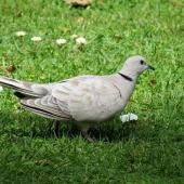 Barbary dove. Adult on ground. Waitangi, October 2012. Image © Thomas Musson by Thomas Musson tomandelaine@xtra.co.nz