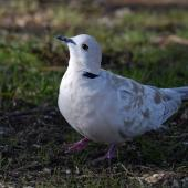 Barbary dove. Adult. Howick Beach, Auckland, May 20128. Image © Marie-Louise Myburgh  by Marie-Louise Myburgh