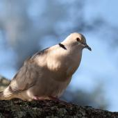 Barbary dove. Adult. Howick Beach, Auckland, May 2018. Image © Marie-Louise Myburgh by Marie-Louise Myburgh