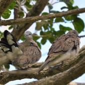 Spotted dove. A pair, high up in a tree. Omana Regional Park, Maraetai, Auckland, April 2015. Image © Marie-Louise Myburgh by Marie-Louise Myburgh
