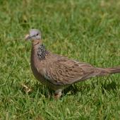 Spotted dove. Adult with nesting material. North Shore Auckland, January 2009. Image © Peter Reese by Peter Reese