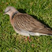 Spotted dove. Adult on ground. North Shore Auckland, July 2009. Image © Peter Reese by Peter Reese