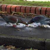 New Zealand pigeon. Pair drinking. Karori,  Wellington, April 2011. Image © Peter Reese by Peter Reese