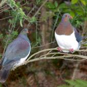 New Zealand pigeon. Adult pair. Maud Island, September 2008. Image © Peter Reese by Peter Reese
