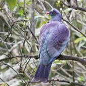 New Zealand pigeon. Dorsal view of adult. Hamilton, October 2012. Image © Raewyn Adams by Raewyn Adams