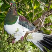 New Zealand pigeon. Adult with nesting material. Wenderholm Regional Park, December 2015. Image © John and Melody Anderson, Wayfarer International Ltd by John and Melody Anderson Love our Birds® | www.wayfarerimages.co.nz