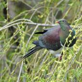 New Zealand pigeon. Adult in willow tree. South Auckland, September 2014. Image © Marie-Louise Myburgh by Marie-Louise Myburgh