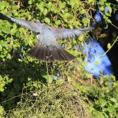 New Zealand pigeon. Rear dorsal view of adult in flight. Mid-north, July 2012. Image © Jenny Atkins by Jenny Atkins Jenny Atkinswww.jennifer-m-pics.ifp3.com