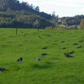 New Zealand pigeon. Flock feeding on spring pasture. Whenuakite Coromandel. Image © Noel Knight by Noel Knight