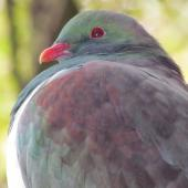 New Zealand pigeon. Adult. Catlins, June 2011. Image © Cheryl Pullar by Cheryl Pullar