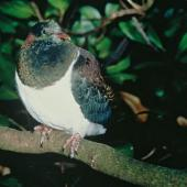 New Zealand pigeon. Juvenile perched on branch. Levin. Image © Department of Conservation (image ref: 10041480) by David Mudge, Department of Conservation Courtesy of Department of Conservation