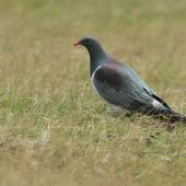 Chatham Island pigeon. Adult. Tuku Farm, February 2010. Image © David Boyle by David Boyle Courtesy of the Chatham Island Taiko Trusthttp://www.taiko.org.nz
