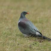 Chatham Island pigeon. Adult turning head. Tuku Farm, Chatham Island, February 2010. Image © David Boyle by David Boyle Courtesy of the Chatham Island Taiko Trusthttp://www.taiko.org.nz